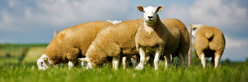 What Type of Texel Ram Should I Buy? BREED STANDARDSJOIN US